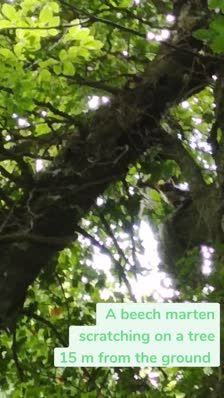 A beech marten scratching on a tree 15 m from the ground